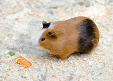 Cute guinea pig with carrot Royalty Free Stock Photo