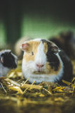 Cute guinea pig Stock Photos