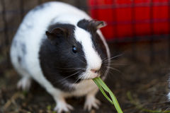 Cute Guinea Pig Stock Images