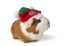 Cute guinea pig with christmas hat Stock Photos