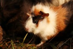 A cute guinea pig eating grass in his home with other friends and brothers. He has a black skin around his eye. Also has brown and. White skin on the back stock photo