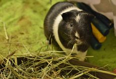 Cute Guinea Pig Eating Hay Grass Food in Home Cage PlayPen stock photos