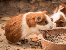 Cute guinea pig feeding. Stock Photo