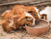 Cute guinea pig feeding. Royalty Free Stock Photography