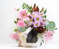 Cute guinea pig with flowers royalty free stock photography