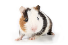 A cute guinea pig in front of white background. Eastphoto, tukuchina,  a cute guinea pig in front of white background Royalty Free Stock Photos