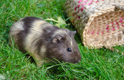 Cute guinea pig on the grass near the basket. Popular household pet. Cavia porcellus Royalty Free Stock Image