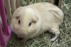 Cute guinea pig in open cage. Royalty Free Stock Images