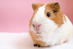 Cute Guinea Pig. On pick background Royalty Free Stock Photography