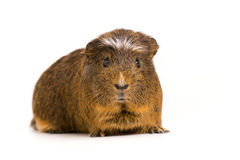 Cute Guinea Pig. Picture of a Guinea Pet on a white background royalty free stock image