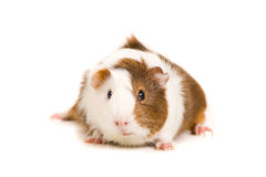 Cute Guinea Pig. Picture of a Guinea Pet on a white background royalty free stock photography