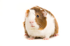 Cute Guinea Pig. Picture of a Guinea Pet on a white background stock image
