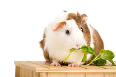 Cute Guinea Pig. Picture of a Guinea Pet on a white background stock photos