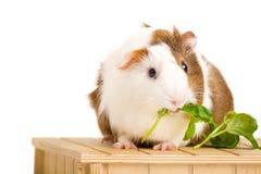 Cute Guinea Pig Stock Photos