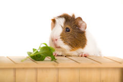 Cute Guinea Pig. Picture of a Guinea Pet on a white background royalty free stock photo