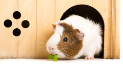 Cute Guinea Pig. Picture of a Guinea Pet on a white background royalty free stock images