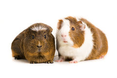 Cute Guinea Pig Royalty Free Stock Images