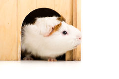 Cute Guinea Pig Royalty Free Stock Image