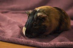 Cute guinea pig Stock Photography