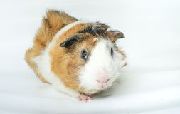 Cute guinea pig, a popular household pet on white background. Royalty Free Stock Images