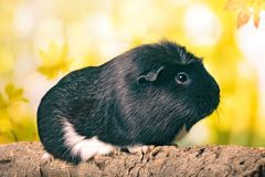 Cute guinea pig sitting on a tree trunk. stock photos