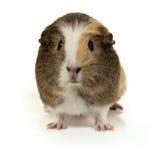 Cute guinea pig smiling Stock Photos