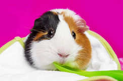 Cute guinea pig with a spoon Stock Image