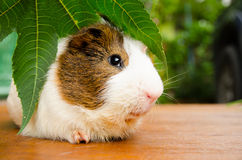 Cute guinea pig two tone color with green leaf on wood floor at out door. Stock Photography
