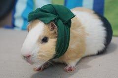 Guinea Pig Wears a Green Bandana Stock Image