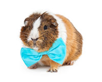 Cute Guinea Pig Wearing Blue Bow Tie Royalty Free Stock Image
