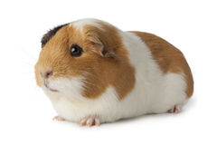 Cute guinea pig. On white background Royalty Free Stock Image