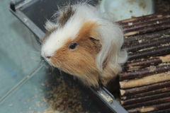Cute Guinea pig Royalty Free Stock Photography
