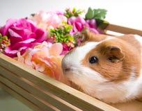 Cute Guinea Pig in wood basket Stock Photos