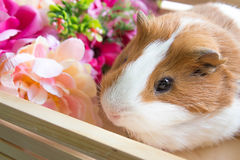 Cute Guinea Pig in wood basket Royalty Free Stock Image