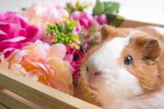 Cute Guinea Pig in wood basket Royalty Free Stock Images
