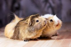 Cute guinea pigs. Fluffy cute rodents - guinea pigs on neutral background Royalty Free Stock Photo