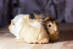 Cute guinea pigs. Fluffy cute rodents - guinea pigs on neutral background Royalty Free Stock Photography