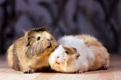 Cute guinea pigs. Fluffy cute rodents - guinea pigs on neutral background Stock Photography