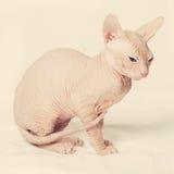 Cute hairless cat Stock Photos