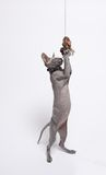 Cute hairless sphinx cat isolated on white Royalty Free Stock Photography
