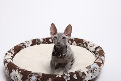 Cute hairless sphinx cat isolated on white Royalty Free Stock Image
