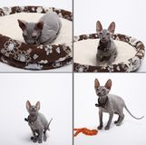 Cute hairless sphinx cat isolated on white Royalty Free Stock Photos