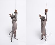 Cute hairless sphinx cat isolated on white stock photo