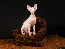 Cute hairless Sphynx kitten on brown chair Stock Image