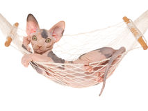 Cute hairless Sphynx in white hammock Stock Photography
