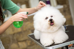 Cute hairstyle for bichon frise. For professional Stock Images