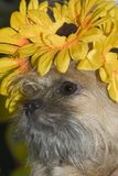 Cute hairy dog Stock Images