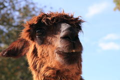 Cute hairy lama portrait. Funny hairy alpaca lama portrait Royalty Free Stock Photography