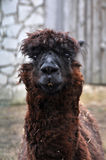Cute hairy lama portrait Royalty Free Stock Image