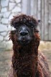 Cute hairy lama portrait. Funny brown hairy lama portrait Royalty Free Stock Image
